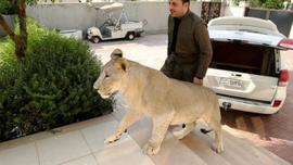 Yavru aslanı evinde besliyor