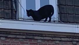 Çatıda gezen panter korku yarattı