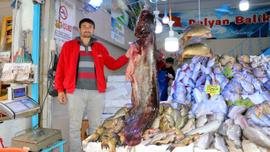 Bu senenin en büyük yayın balığı yakalandı