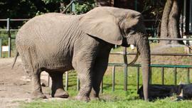 Veteriner testereyle filin dişini keserken o bir kova elma yedi