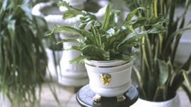 Evinize canlılılık katacak en iyi 9 asma bitki