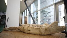 Kayseri'de bulunan fosil, türünün tek örneği