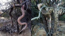 Elazığ'da 6 metrelik dev yılanı öldürüp ağaca astılar