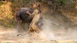 Dişi bufaloya sinsice saldırmak istemişti! Sonu felaket oldu