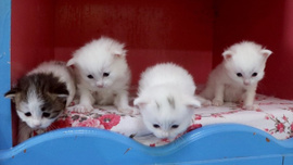 Van kedileri 2020'nin ilk yavrularını dünyaya getirdi