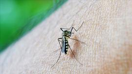 Sivrisinekler erkekleri neden daha çok ısırıyor?