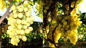 Ceviz büyüklüğündeki üzüm taneleri şaşırttı
