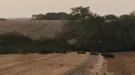 Tarım arazilerine giren domuz sürüsü çiftçileri tedirgin etti
