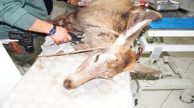 Avcıların vurduğu, köpeklerin parçaladığı geyik kurtarıldı