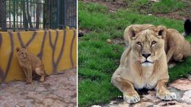 Cumhurbaşkanı'naa 2 yıl önce hediye edilen aslanlar bakın ne oldu!