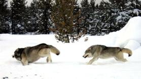 Aç kalan kurtlar sahipsiz köpeği parçaladı