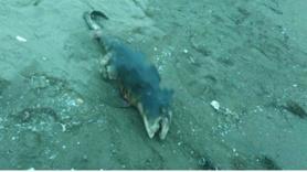 Gizemli yaratık sahile vurdu! Görenler şoke oldu