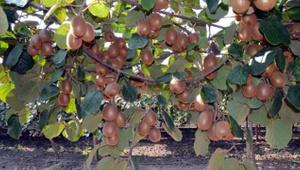 Daha dalındayken yüzde 80'i satıldı! '4 tane portakala eş değer'