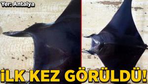 Antalya Körfezi'nde şeytan vatozu ilk kez görüldü