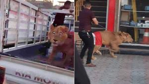 Aslan getirdi!