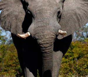 Afrika'da kuraklık vahşi hayvanları da vurdu: 200 fil açlıktan öldü