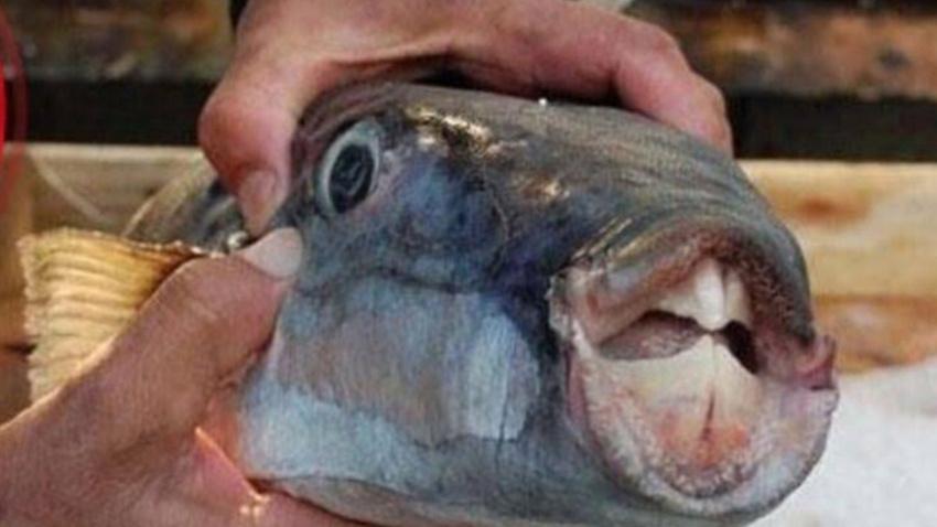 Yiyen hayvanları öldürüyordu! Balon balığıyla ilgili flaş gelişme...