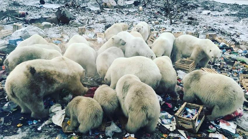 Kutup ayıları şehre indi, acil durum ilan edildi