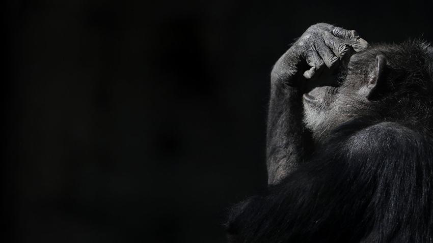 İngiliz milyonerlerin şempanze eti yediği iddia edildi