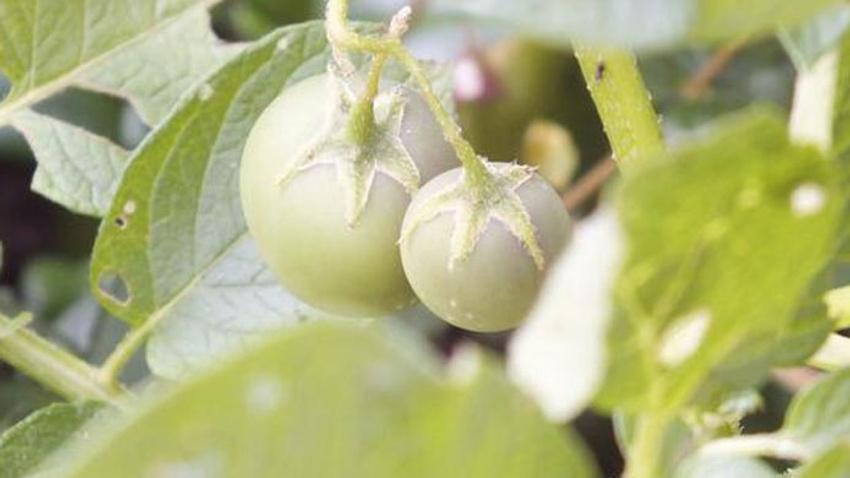 Herkes domates sanmıştı, uyarı geldi: Zehirli, yemeyin