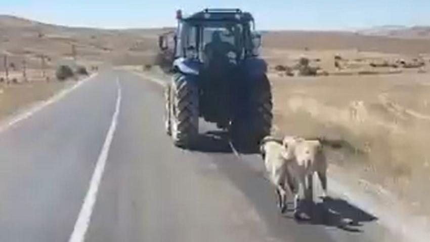 Sivas'ta kangal köpeklerine eziyete işlem