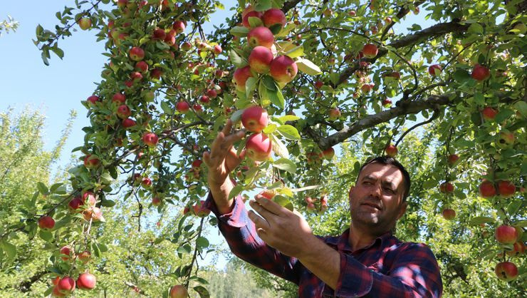 Niğde'de elma hasadı yapılıyor - Sayfa 1