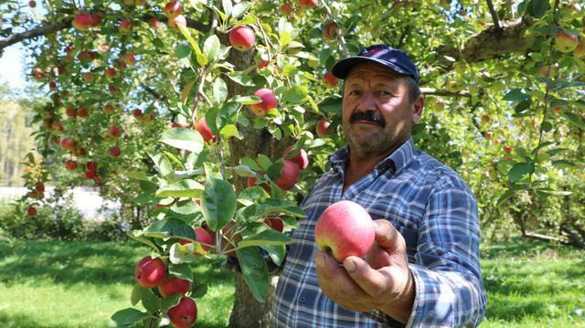 Niğde'de elma hasadı yapılıyor - Sayfa 2