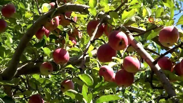 Niğde'de elma hasadı yapılıyor - Sayfa 3