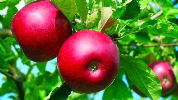 Niğde'de elma hasadı yapılıyor - Sayfa 4