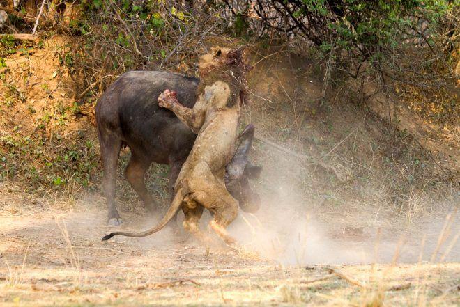 Dişi bufaloya sinsice saldırmak istemişti! Sonu felaket oldu - Sayfa 1