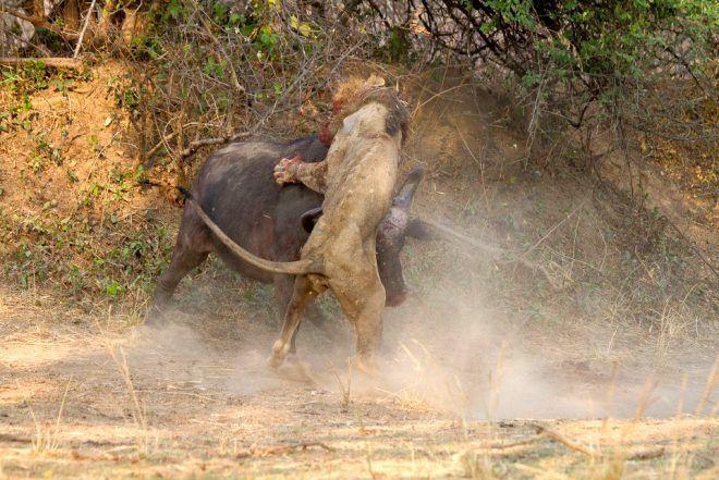 Dişi bufaloya sinsice saldırmak istemişti! Sonu felaket oldu - Sayfa 3