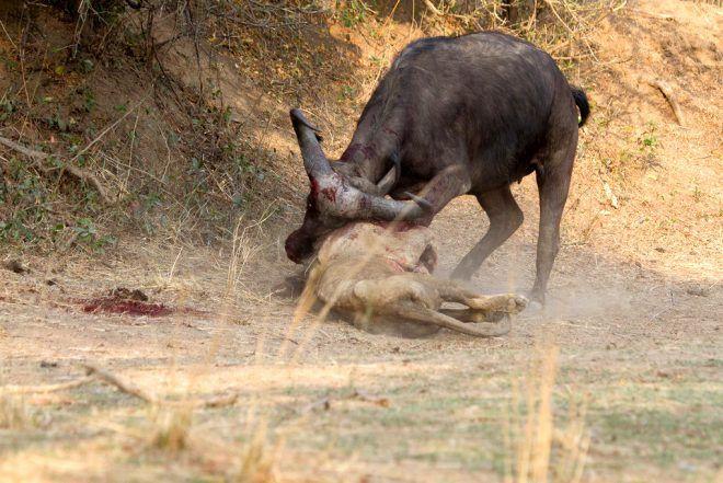 Dişi bufaloya sinsice saldırmak istemişti! Sonu felaket oldu - Sayfa 4