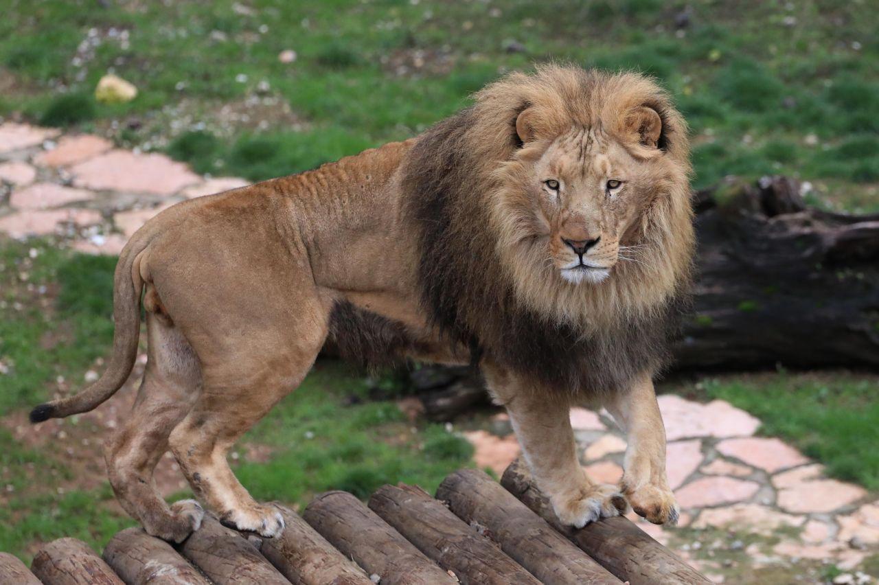 Cumhurbaşkanı Erdoğan'a 2 yıl önce hediye edilen aslanlar bakın ne oldu! - Sayfa 1