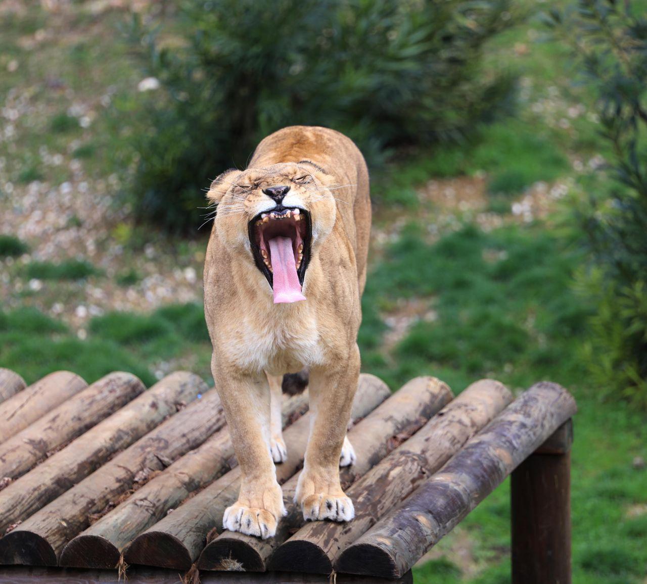 Cumhurbaşkanı Erdoğan'a 2 yıl önce hediye edilen aslanlar bakın ne oldu! - Sayfa 2