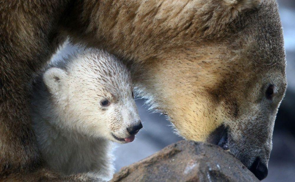 Avusturya'da yavru kutup ayısı ilk defa görüntülendi. - Sayfa 1