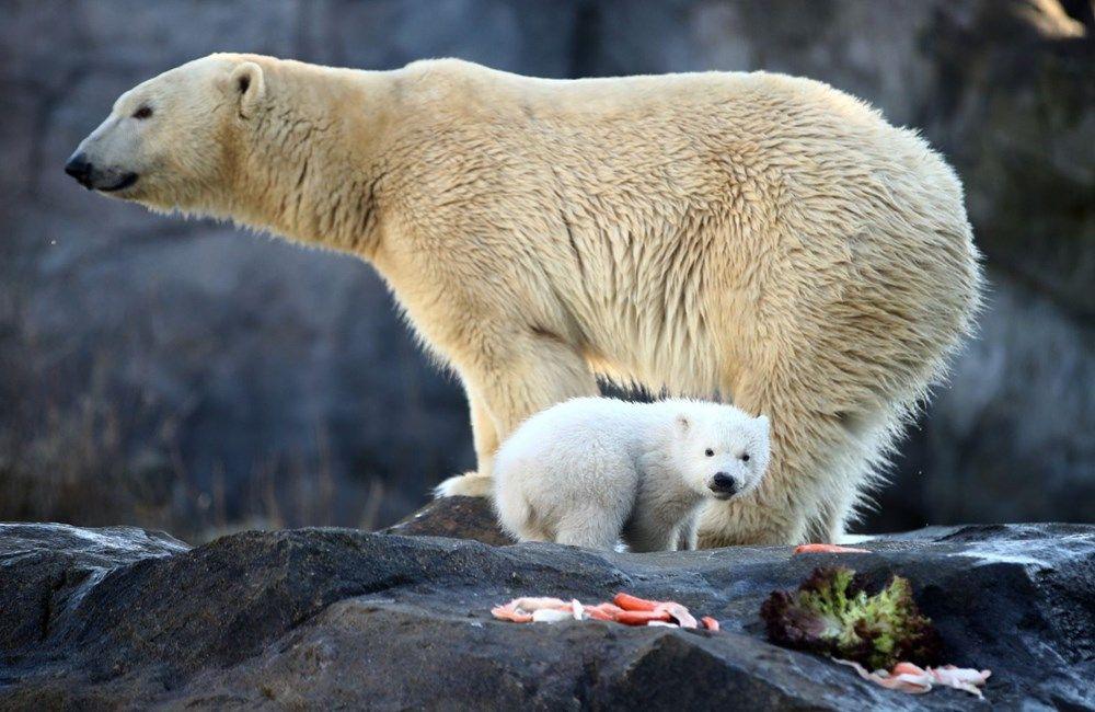 Avusturya'da yavru kutup ayısı ilk defa görüntülendi. - Sayfa 3