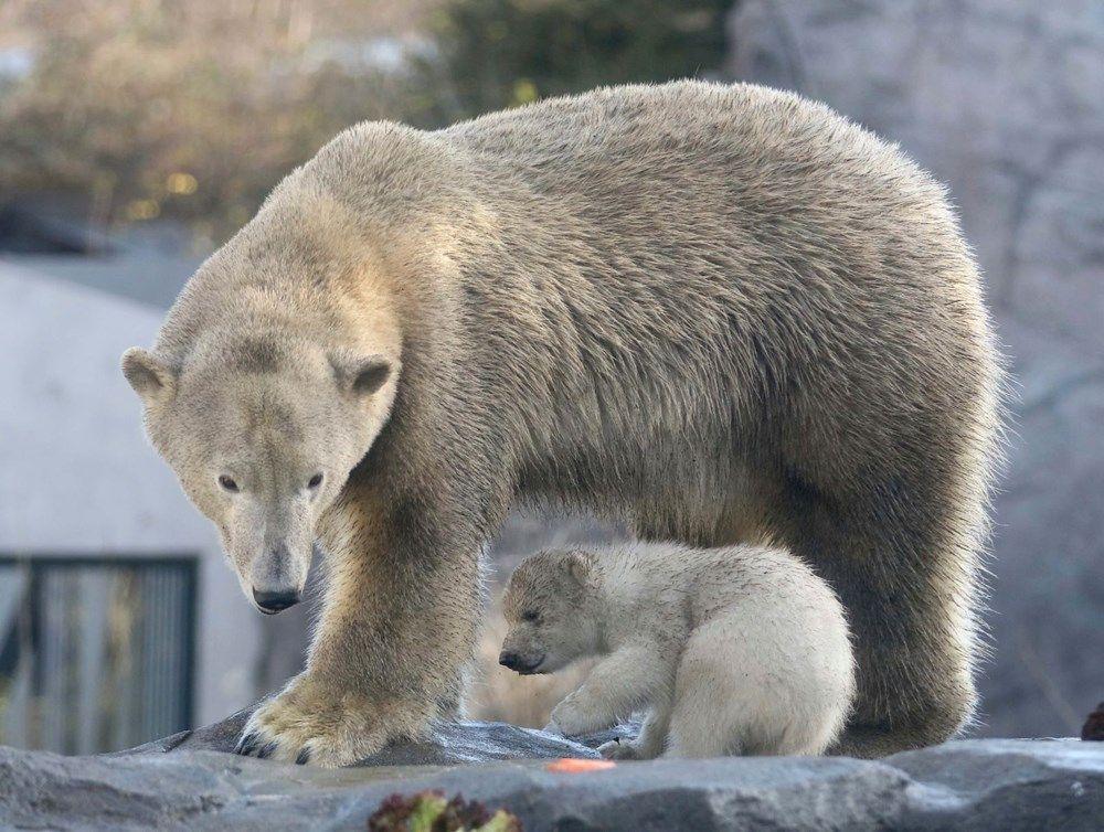 Avusturya'da yavru kutup ayısı ilk defa görüntülendi. - Sayfa 4