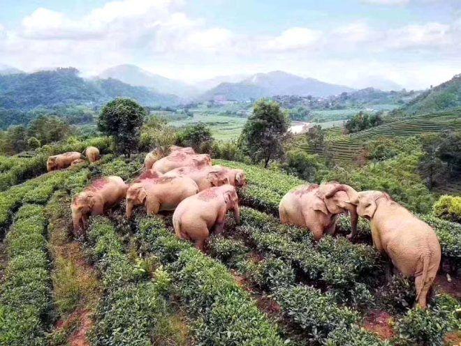 Karantina sonrası boş kalan köylere giren filler litrelerce alkollü içecek içerek sızıp kaldı - Sayfa 3