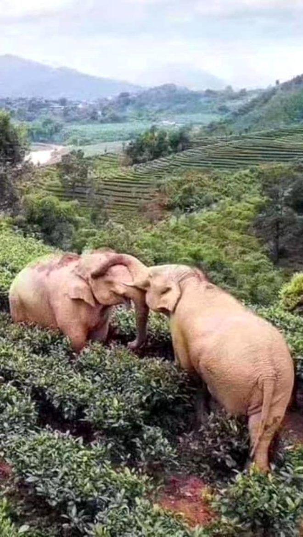 Karantina sonrası boş kalan köylere giren filler litrelerce alkollü içecek içerek sızıp kaldı - Sayfa 4