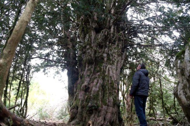 Yolunu kaybeden fotoğrafçılar tarafından bulunan 2 bin 500 yıllık ağaç ihtişamıyla büyüledi - Sayfa 2
