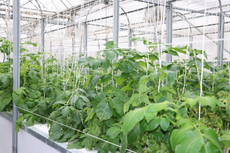 Topraksız tarımla patatesin toprak altındaki unsurlarının genetiği çıkartılıyor - Sayfa 3