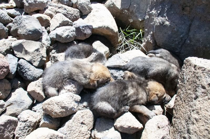 Mehmetçik dağda bulduğu kurt yavrularına sahip çıktı - Sayfa 2