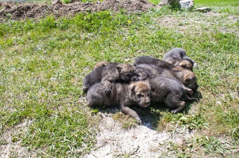 Mehmetçik dağda bulduğu kurt yavrularına sahip çıktı - Sayfa 3