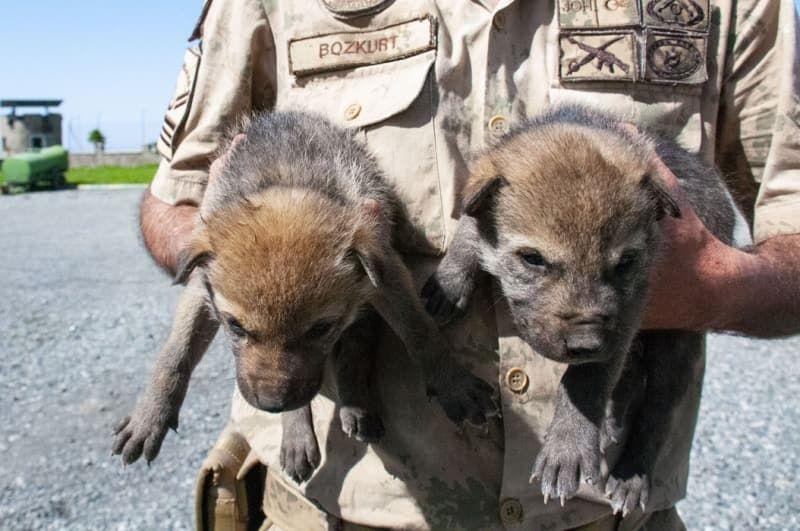Mehmetçik dağda bulduğu kurt yavrularına sahip çıktı - Sayfa 4