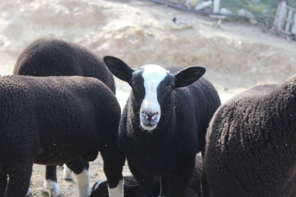 Bu koyunu almak isteyenler 5 ay beklemek zorunda kalıyorlar. - Sayfa 2