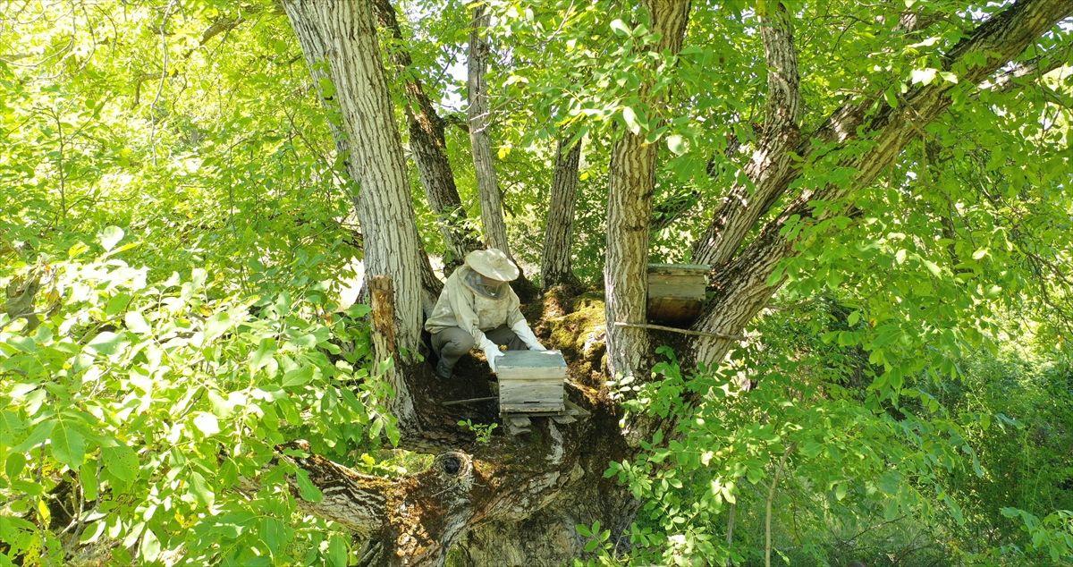 Bilecikli arıcı asırlık ceviz ağacında bal üretiyor - Sayfa 1