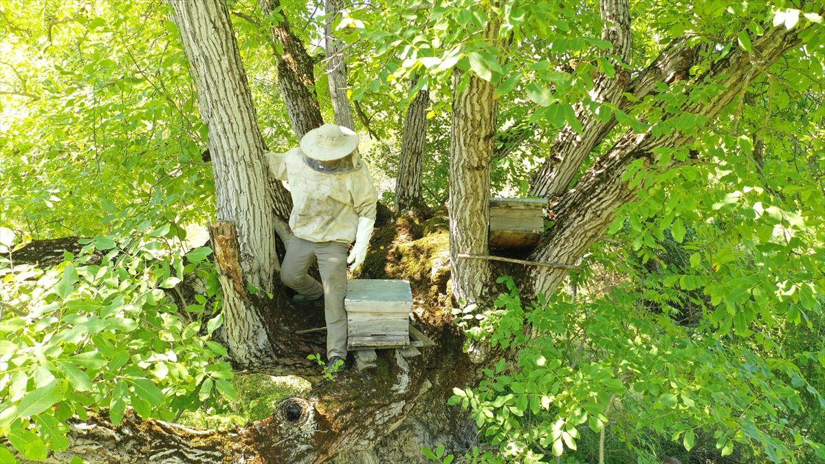 Bilecikli arıcı asırlık ceviz ağacında bal üretiyor - Sayfa 2