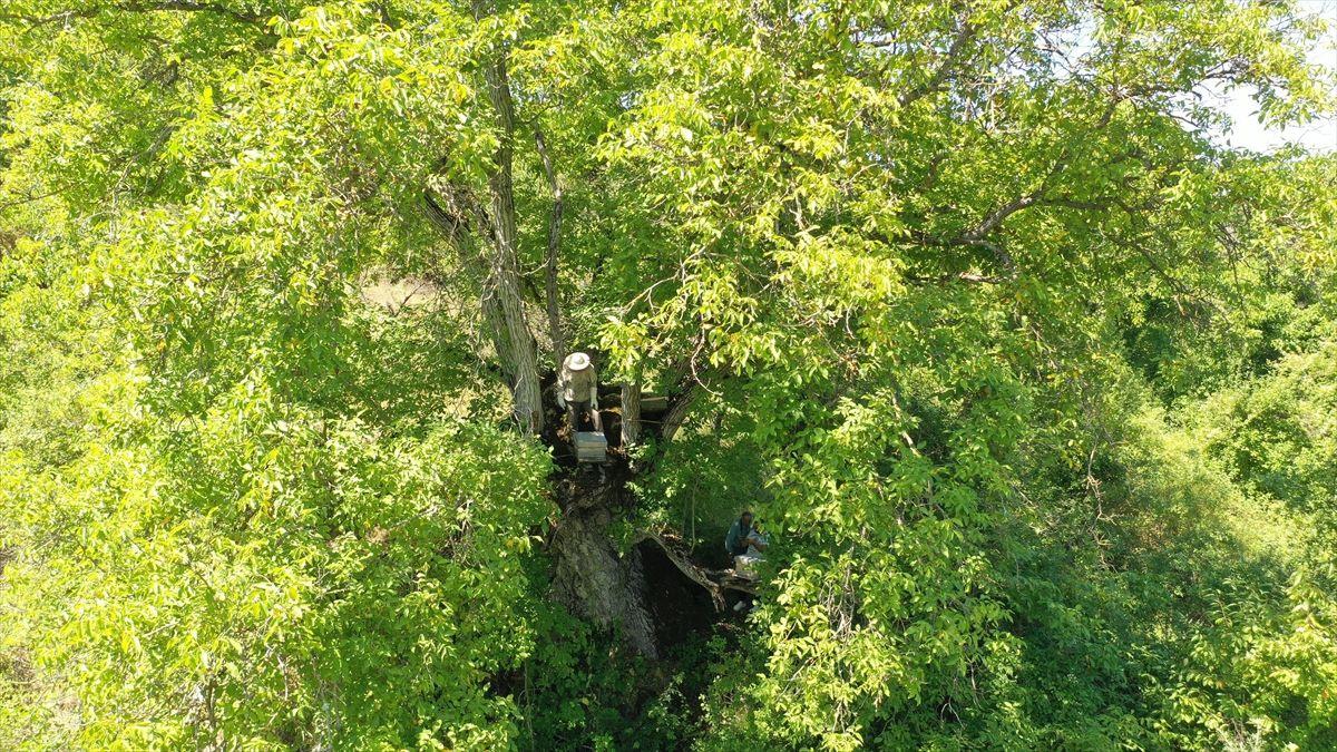 Bilecikli arıcı asırlık ceviz ağacında bal üretiyor - Sayfa 3