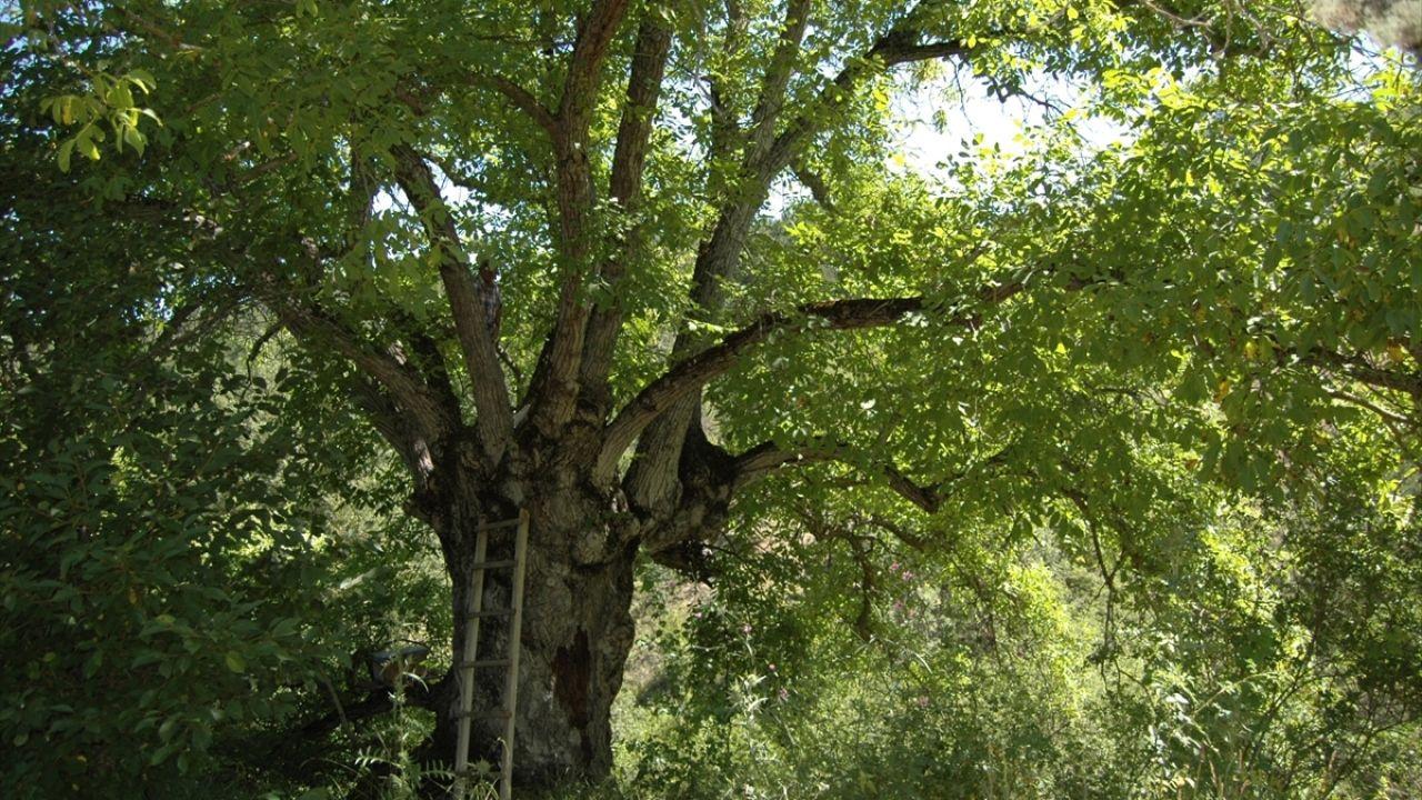 Bilecikli arıcı asırlık ceviz ağacında bal üretiyor - Sayfa 4
