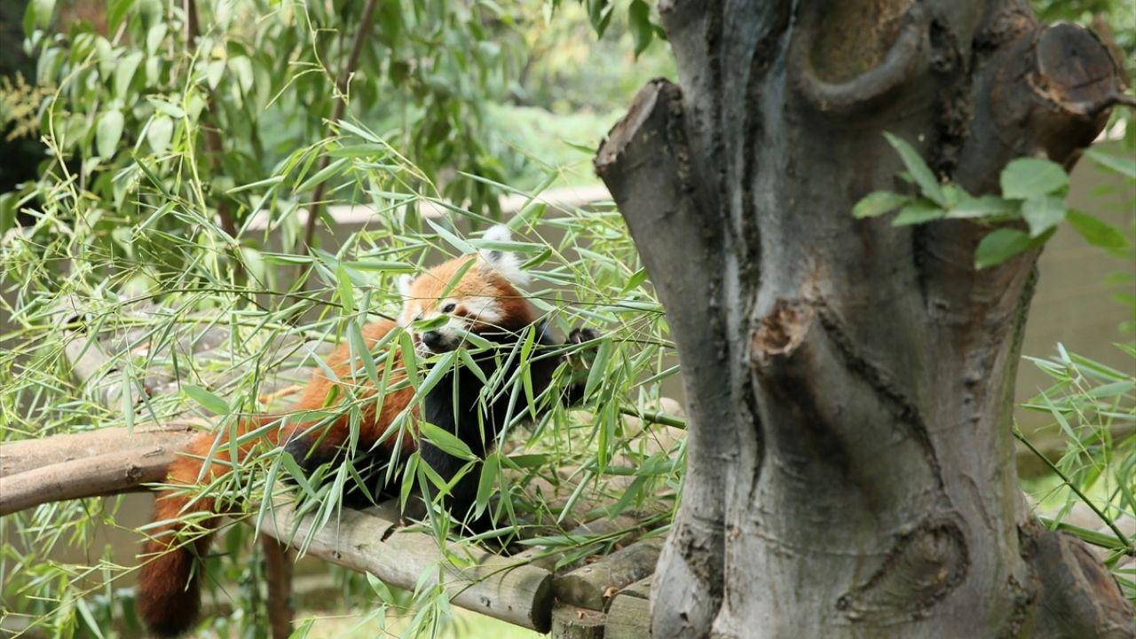Kızıl pandalar ailenin yeni üyelerine kavuştu - Sayfa 1